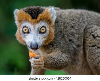 crowned lemur, macro