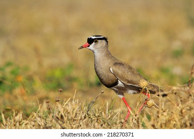 Crowned Plover - African Wild Bird Background - Talking Beauty from Nature
