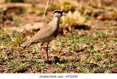 Crowned plover in the veld, winter grass.