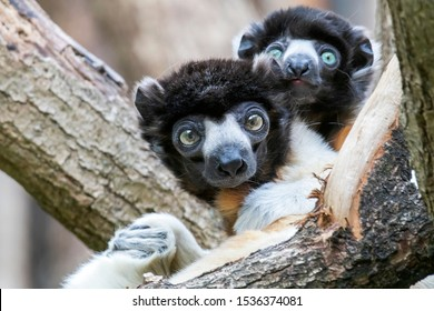 crowned sifaka on background, close up