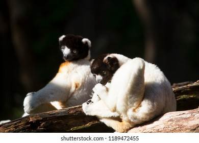 crowned sifaka, Propithecus coronatus, resting and sitting in the sun to warmup