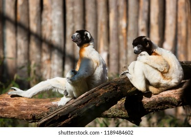 crowned sifaka, Propithecus coronatus, resting and sitting in the sun on branch to warmup
