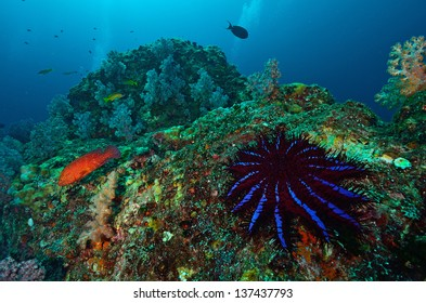 A Crown-of-thorns seastar (Acanthaster planci) feeds on live corals in the Andaman Sea