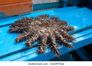 Crown-of-thorns starfish near Togean islands, North Sulawesi, Tanzania