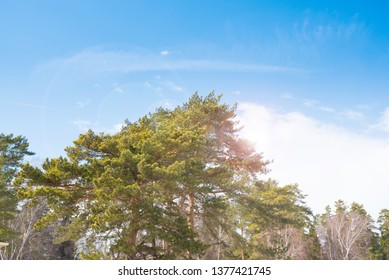 Crowns of coniferous trees in the forest. Natural photo.