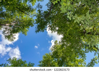 Crowns of tall foliar trees above his head in the forest against a blue sky. Wild nature of the forests. Deciduous forest in summertime. Beautiful trees on sky background