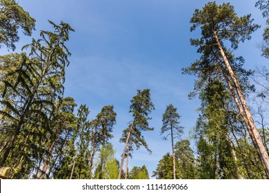 "crowns of trees in the national reserve ""Belovezhskaya Pushcha"", Belarus"
