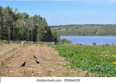 Crows in Farmer's Field