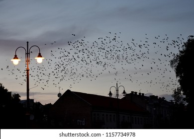 Crows flying in the sky