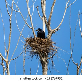 crow's nest in a tree