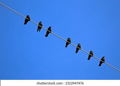 Crows on electricity wire in the Oude Kene nature reserve, the Netherlands
