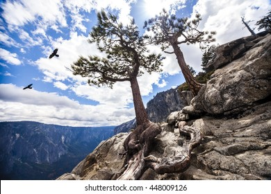 Crows and pine trees on the edge of a cliff at the summit of the Yosemite falls hike in Yosemite National Park.