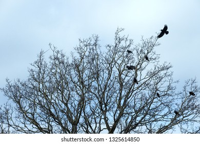 Crows resting on a tree in winter time