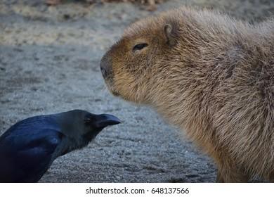 Crows versus Capibara