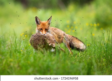 Cruel red fox, vulpes vulpes, holding caught hare in mouth and facing camera in green grass. Furry predator with killed prey on meadow in summer nature.