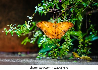 Cruiser Butterfly on green with wings wide open