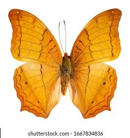 Cruiser, Vindula evota, butterfly isolated on white background.