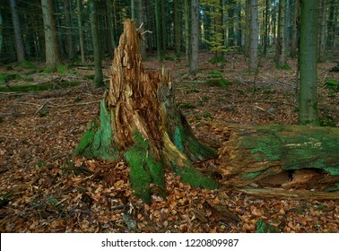 A crumbling rotten old tree stump in a pine forest of autumn leaves.