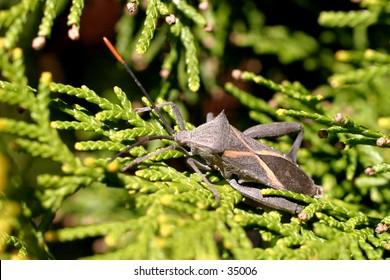 Crusader shield bug (stink bug) on an evergreen