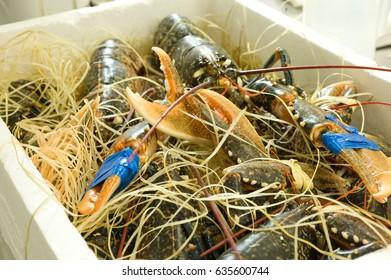 Crustaceans in transport tank