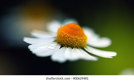 Crying chamomile