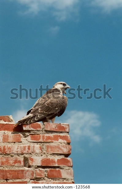 Crying falcon on the ancient fortress wall