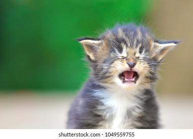 Cat Cry Images, Stock Photos \u0026 Vectors