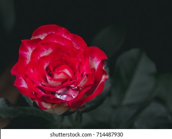 Crying Rose - Rose with water drop on dark background.