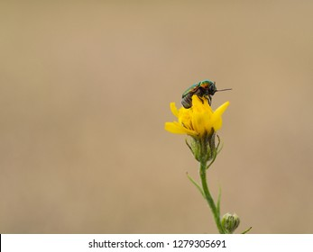 Cryptocephalus sericeus one of cylindrical leaf beetles sitting on a yellow blooming flower