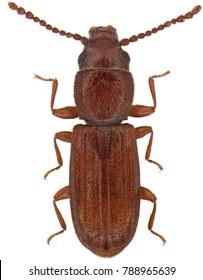 Cryptolestes pusillus is a species of lined flat bark beetle Laemophloeidae. Isolated on a white background