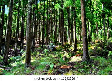 Cryptomeria forest in Reunion Island. Japanese trees.