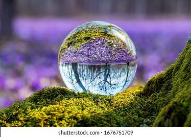 Boule de cristal avec la libération de la forêt de printemps avec le crocus. Ukraine