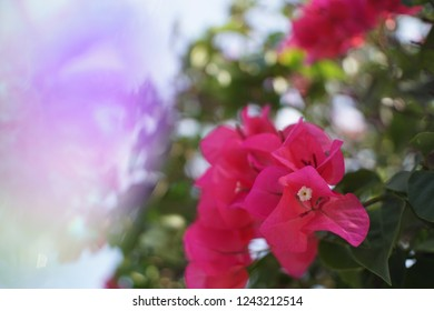 Crystal Prism Visual Effect ,Close-up Bougainvillea Pink bloom flower with Sunlight.