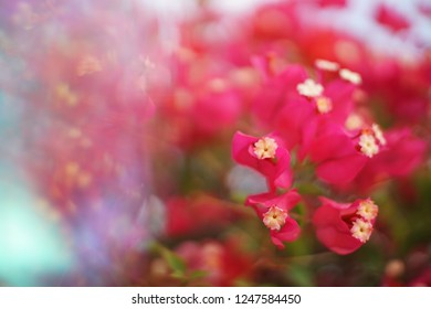 Crystal Prism Visual Effect  Close-up Bougainvillea Cherry pink color flower with Sunlight.
