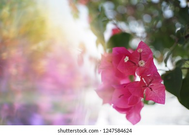 Crystal Prism Visual Effect  Close-up Bougainvillea Pink bloom flower with Sunlight.
