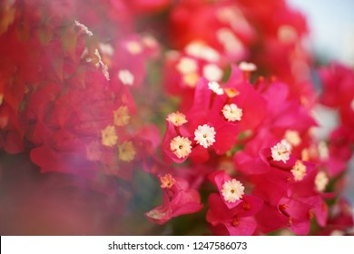 Crystal Prism Visual Effect  Close-up Bougainvillea Cherry pink color flower with Sunlight,Abstract/Background.