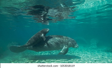Crystal River in Florida has fresh water springs were water temperature stays constant 22 centigrade throughout the year, critical for Manatees who need warm water to survive the winter.