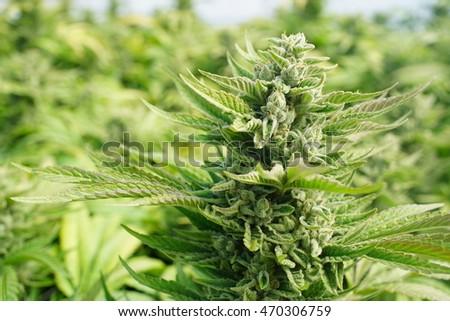 Crystallized Cola On Cannabis Indica Kush Stockfoto Jetzt