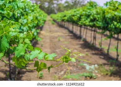 Csenic vineyard in Golan Heights, Israel
