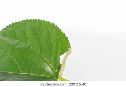 "cSilk worms containing ""sildenafil"" effect helps dilate blood vessels with the same medicine Viagra."