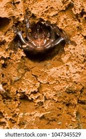 Cteniza moggridgei (trapdoor spider)