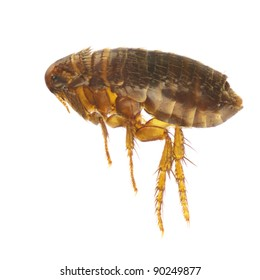 Ctenocephalides felis, cat flea or flea, isolated on a white background