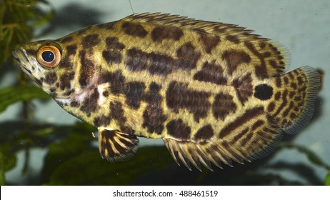 Ctenopoma acutirostre (the leopard bush fish), a freshwater African fish of the Anabantidae family