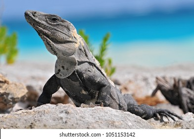 Ctenosaura similis, commonly known as the black spiny-tailed iguana, black iguana, or black ctenosaur, is a lizard native to Mexico and Central America. Tulum Mexico.