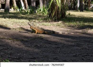 Ctenosaura similis, garrobo, iguana, huatulco sighting Oaxaca Mexico