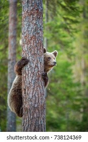 Cub of Brown bear climb on the tree.The bear cub climbing on the tree. (Ursus Arctos Arctos) Brown Bear.