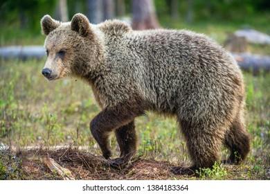 Cub of Brown Bear in the  summer forest. Natural habitat. Scientific name: Ursus arctos.