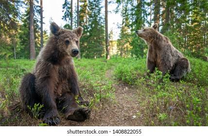 Cub of Brown Bear in the  summer forest. Close up portrait.  Natural habitat. Scientific name: Ursus arctos.