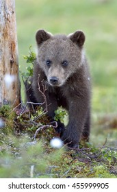 Cub of Brown bear (Ursus Arctos) in the summer forest. Natural green Background
