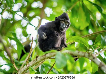 The Cub of Celebes crested macaque on the tree.  Crested black macaque, Sulawesi crested macaque, or the black ape. Natural habitat. Sulawesi Island. Indonesia.